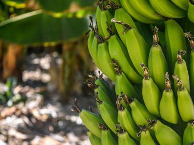 Cultivo-Banano_stoller