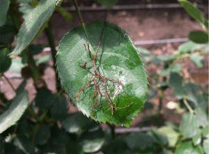 Figura 9. Raíces de rosas afectadas por nematodos y hongos parásitos de suelo.